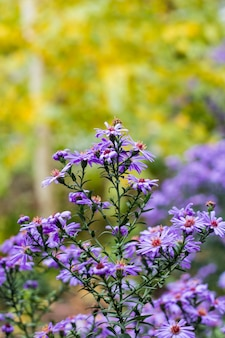 Asters vírgenes púrpuras a finales de otoño en borrosa natural