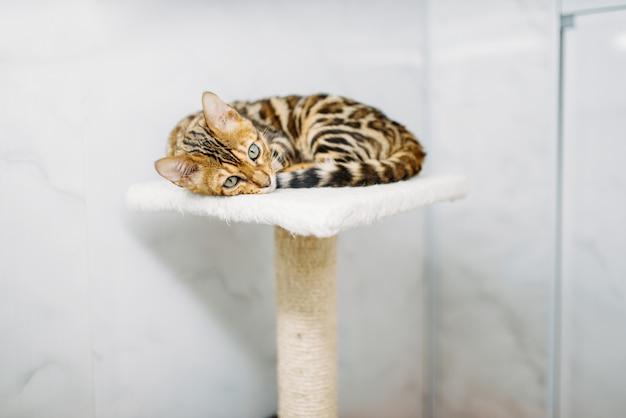 Сat con hermosos colores de tigre se encuentra en el soporte