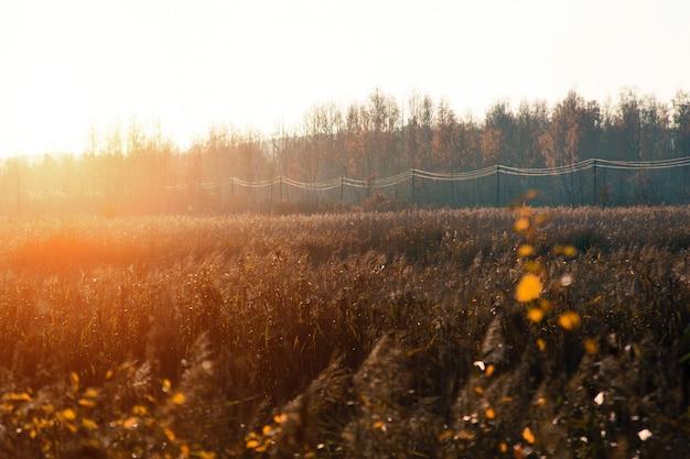 Atardecer y pastos silvestres. la luz del sol a través del follaje rojo.