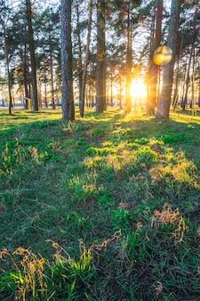 Atardecer de verano en el parque con pinos