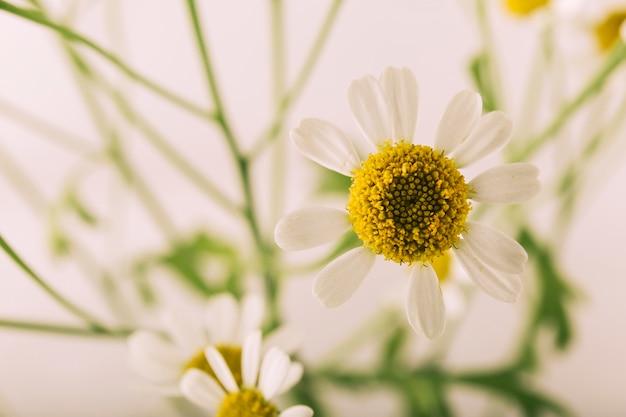 Atractiva flor de margarita que florece al aire libre