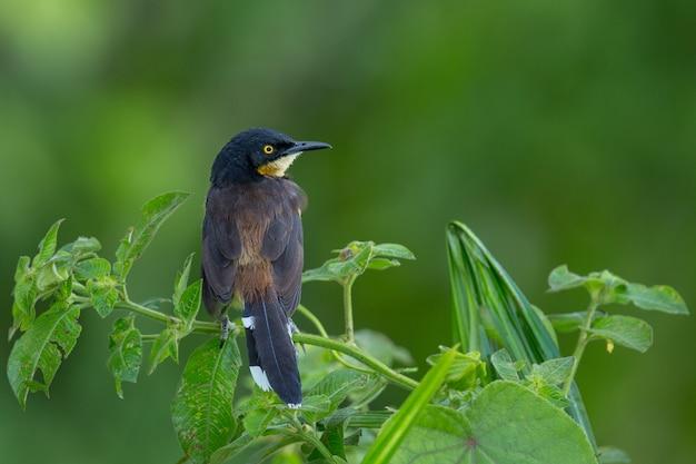 Ave de américa del sur en el hábitat natural