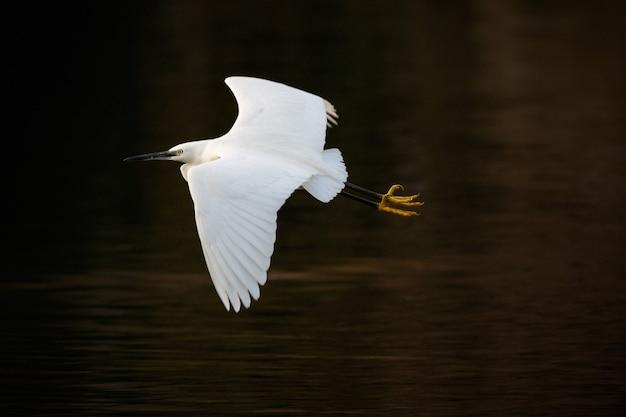 Ave marina blanca volando sobre el lago