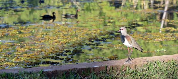 Avefría del sur en el lago con cisnes