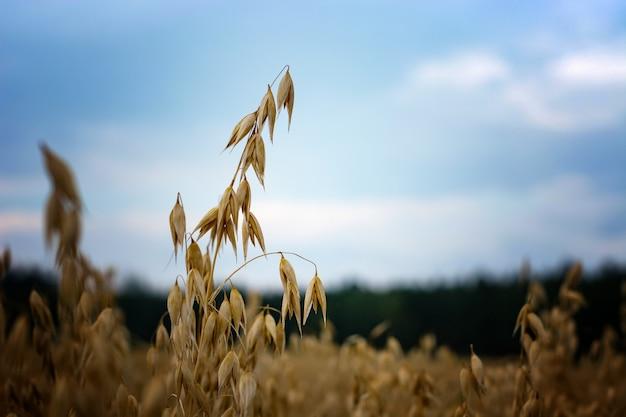 Avena madura en el campo contra el cielo