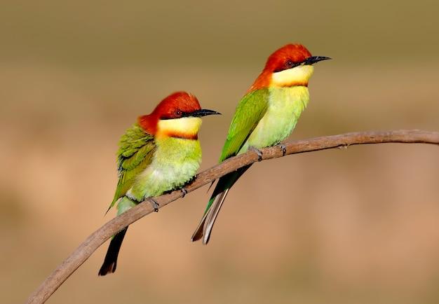 Aves de cabeza de castaña merops leschenaulti aves hermosas de tailandia