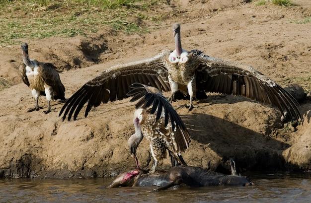 Las aves rapaces comen la presa en la sabana de áfrica oriental kenia tanzania safari