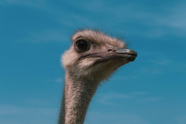 Avestruz contra el cielo azul. avestruz curioso