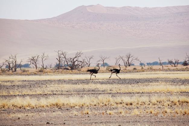 Avestruz corriendo a alta velocidad a lo largo de la carretera en el desierto de namibia
