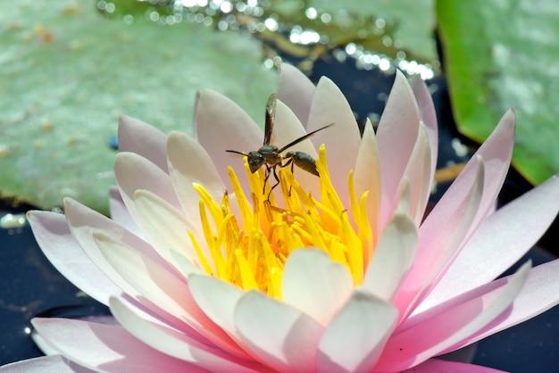 Avispa polinizando lirio de agua rosa