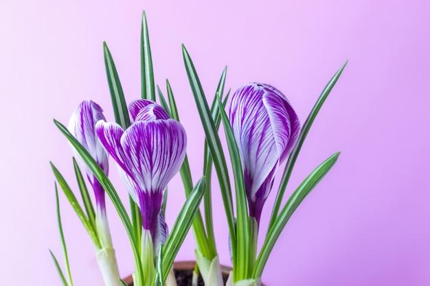 Azafrán grande crocus sativus c. vernus flores con rayas moradas sobre un fondo rosa para postales, saludos para el día de la madre, el día de san valentín