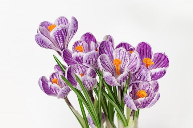 Las azafranes coloreadas violeta hermosas florecen en fondo ligero con el espacio de la copia. postal de primavera brillante para deseos y felicitaciones.