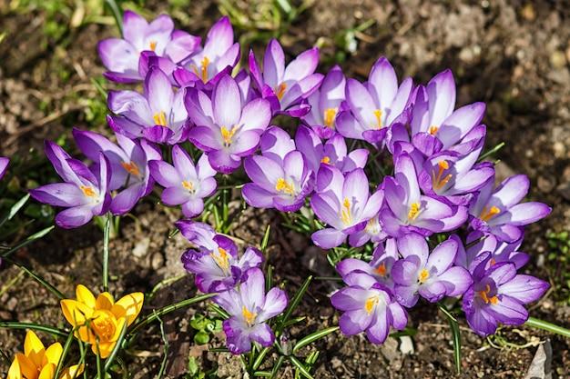 Azafranes púrpuras y de pozos germinan en la primavera en el jardín. símbolo de la primavera.
