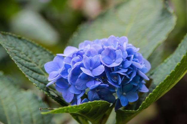 Azul, lila, violeta, púrpura flor de hortensia (hydrangea macrophylla) que florece en primavera y verano en un jardín. hydrangea macrophylla