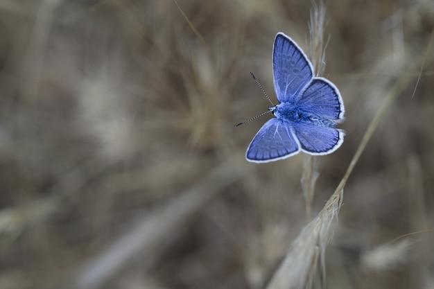 Azul meridional (polyommatus celina),