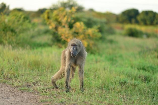 Babuino en los campos cubiertos de hierba en las selvas africanas