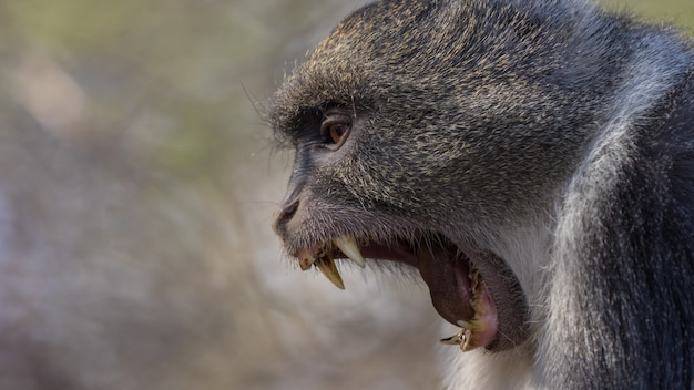 Babuino en estado salvaje, áfrica