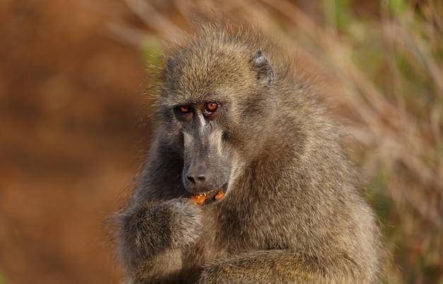 Babuino en la naturaleza, áfrica