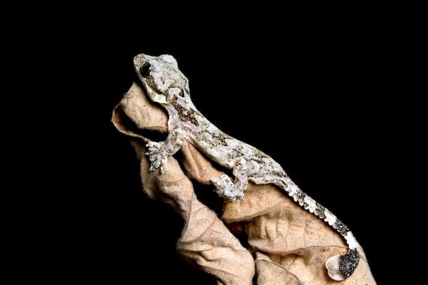 Baby flying gecko sobre hojas secas