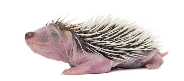 Baby hedgehog, 4 días de edad, contra el espacio en blanco