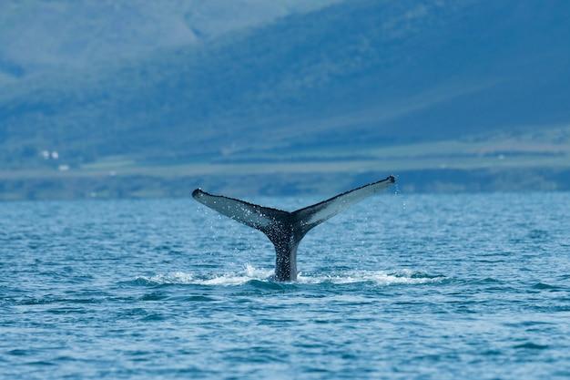 Ballena jorobada buceando en el mar en verano islandia