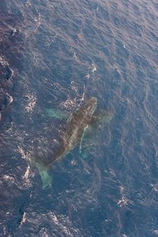 Ballena jorobada nadando en agua de mar azul profundo - vista aérea