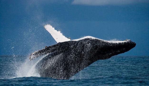 Ballena jorobada salta fuera del agua. hermoso salto. . madagascar. isla de santa maría.
