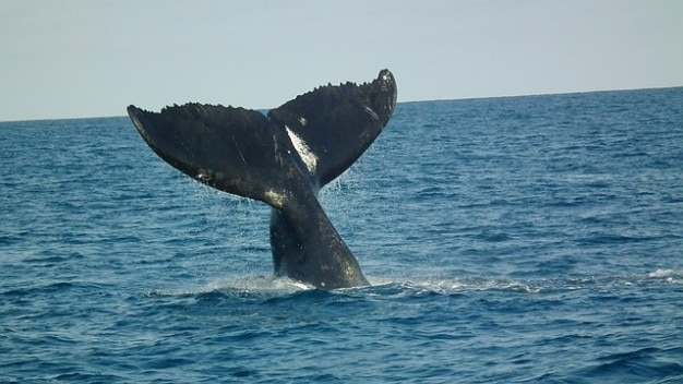 Ballenas jorobadas abrolhos cola