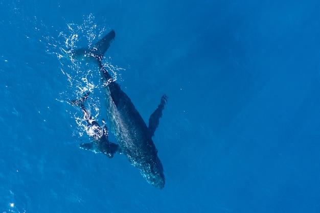 Las ballenas jorobadas fotografiadas desde arriba con un dron aéreo frente a la costa de kapalua, hawaii