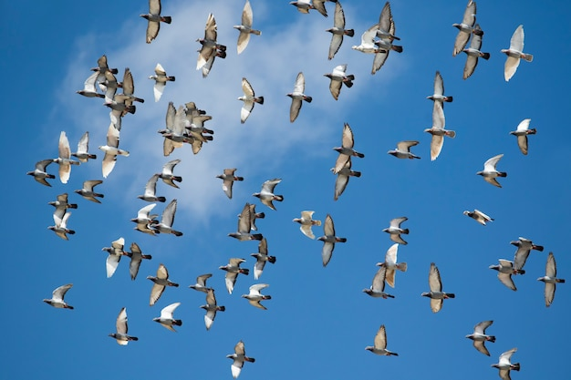 Bandada de aves de paloma de carreras de velocidad volando contra el cielo azul claro