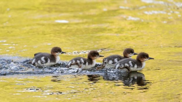 Bandada de patos bebé nadando en un lago durante el día