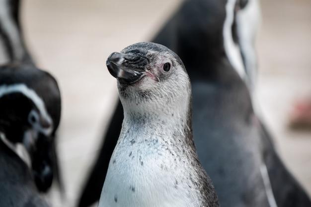 Bandada de pingüinos en la naturaleza.
