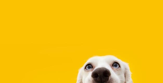 Banner ocultar cachorro de perro sorprendido divertido aislado en amarillo.