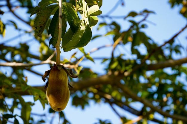 Baobab africano o pan de mono