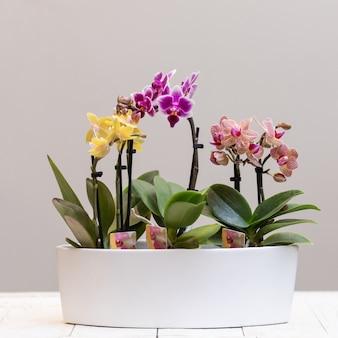 Barco cymbidium orquídea en maceta de cerámica