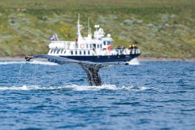 Barco que viaja mirando la ballena jorobada que viola la superficie del mar.