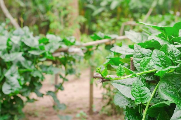 Basella alba, vegetales tailandeses tienen propiedades medicinales. hoja alternativa