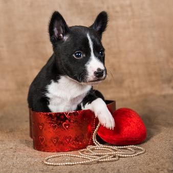 Basenji cachorro está sentado en una caja con corazón rojo