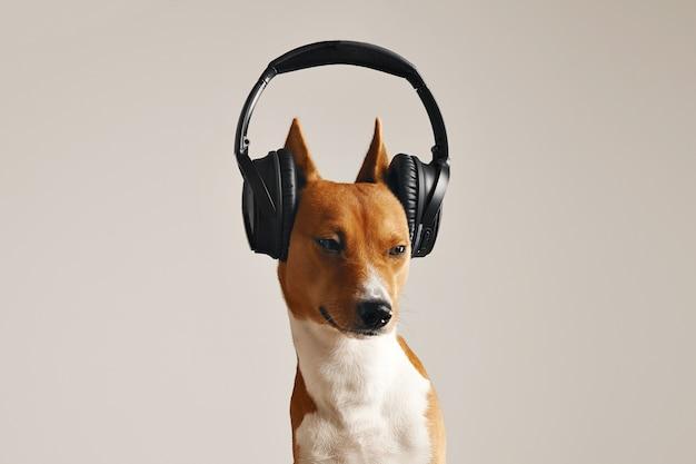 Basenji marrón y blanco de aspecto infeliz en audífonos negros grandes con ojos entrecerrados de cerca aislado en blanco