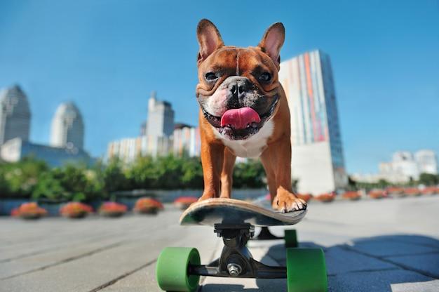 Bastante bulldog francés en el skate