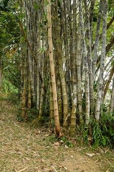 Bastones de bambú gigante en el real jardín botánico, lunuganga, sri lanka