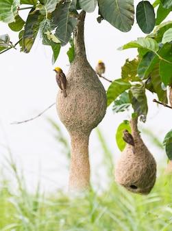 Baya tejedor nido de pájaro