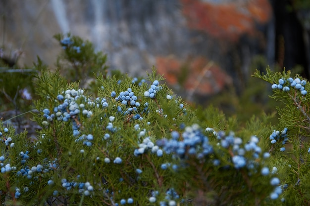 Las bayas azules silvestres crecen en el bosque