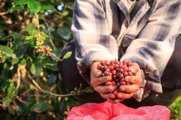 Bayas de café arábica con manos de agricultor.