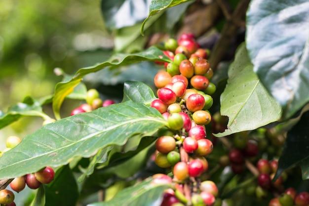 Bayas de café en un árbol de café