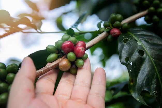 Bayas de café en árbol con la mano del agricultor.