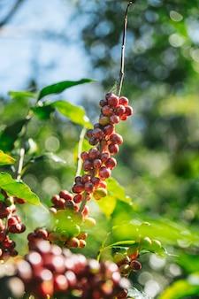 Bayas de café rojas del arabica del cafeto.