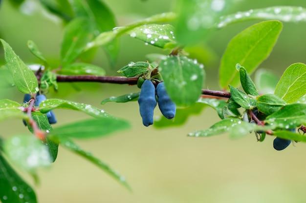 Bayas de madreselva madura en las ramas. gotas de lluvia sobre las hojas.