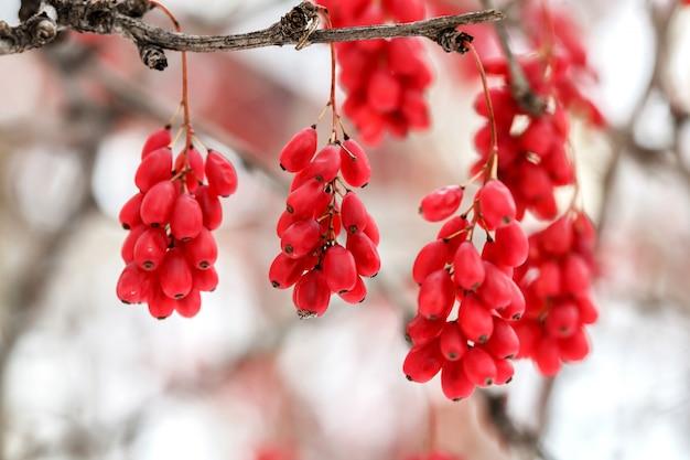 Bayas maduras de agracejo rojo, berberis vulgaris, rama, otoño, nieve