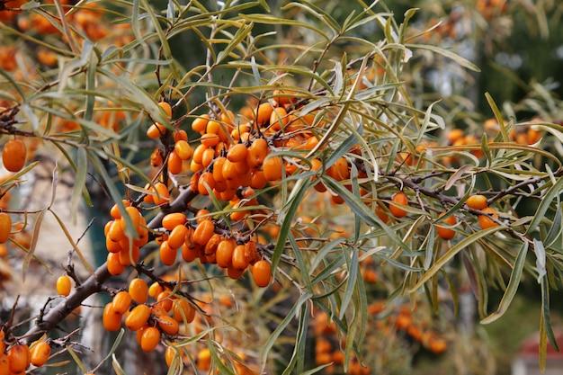 Bayas maduras de espino amarillo en una rama